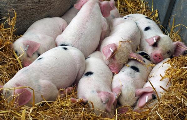 Let Sleeping Piglets Lie by PRC