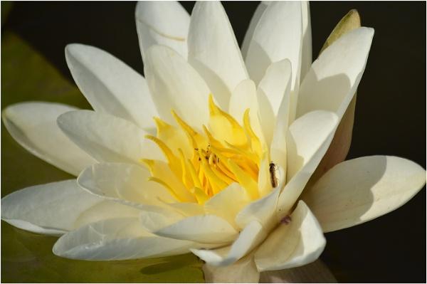 Sunshine Lily by Trish53