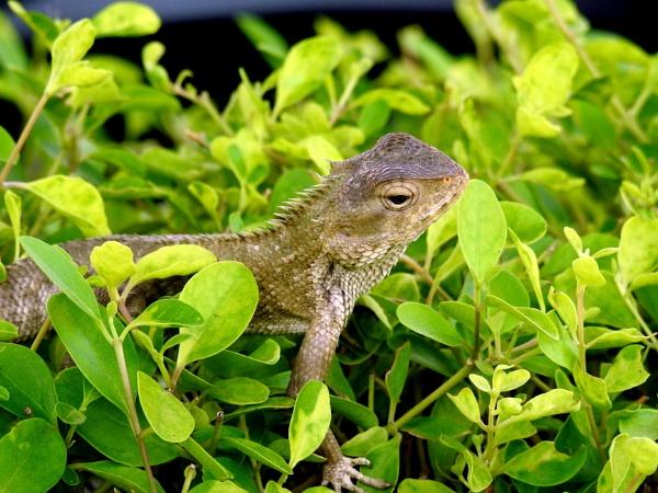 chameleon by gautamc