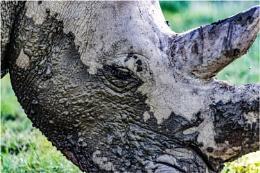 Dave the rhinoceros