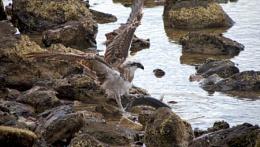 Photo : Osprey and catch