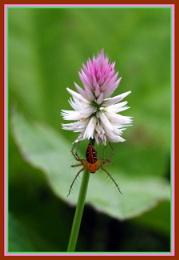 *** Silver Cockscomb Celosia argentea & Insect ***