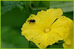 *** Turia ( Luffa squash ) flower & Bug ***