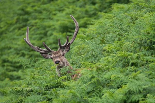 Red Deer Stag by kfjmiller