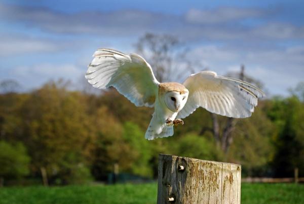 Barn owl landing by paultee