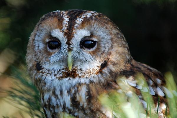 Tawny owl by paultee