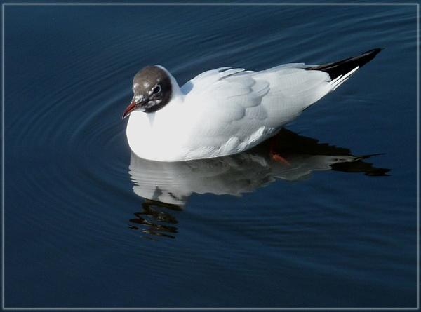 London gull by CarolG