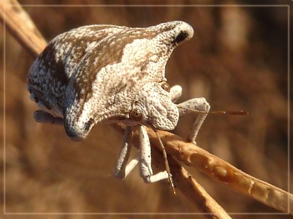 broad shouldered shield bug by CarolG
