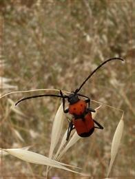 red longhorn beetles
