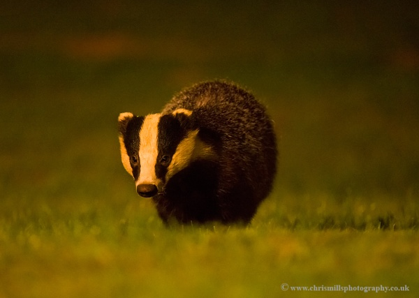Badger by Chrism8