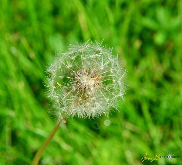 Dandelion by jb_127