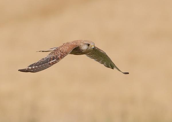 Kestrels in Flight by NeilSchofield