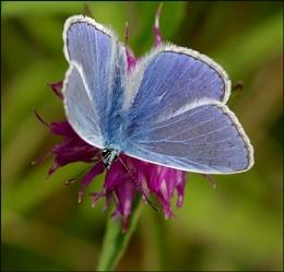 Common Blue-Polyommatus icarus..
