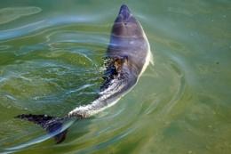 Dolphins in Brixham