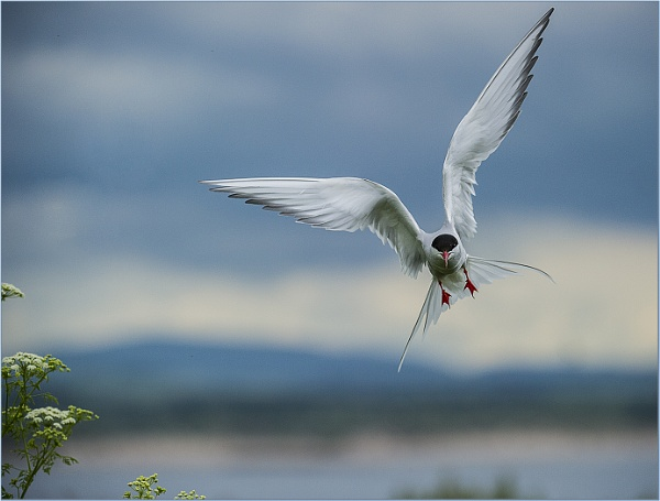 Artic Tern in Farn Islands by ugly