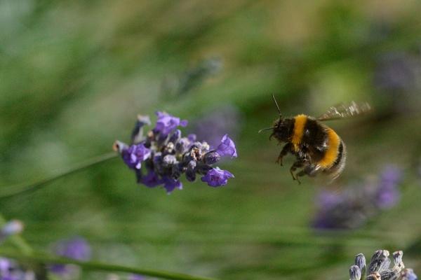 Alighting Bumble Bee by peterthowe