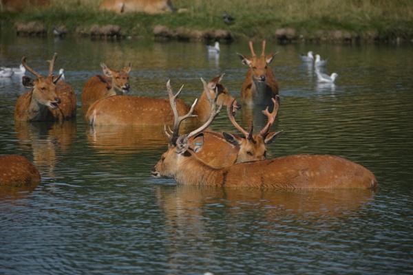 Deer me by peterthowe