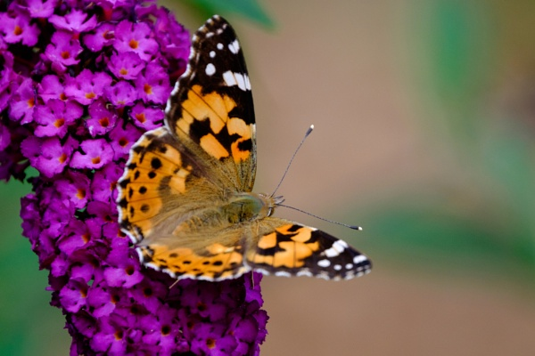 """Painted Lady\"" by Willmer"