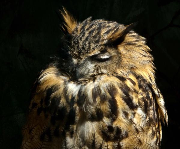 Sleepy Eagle Owl by rambler