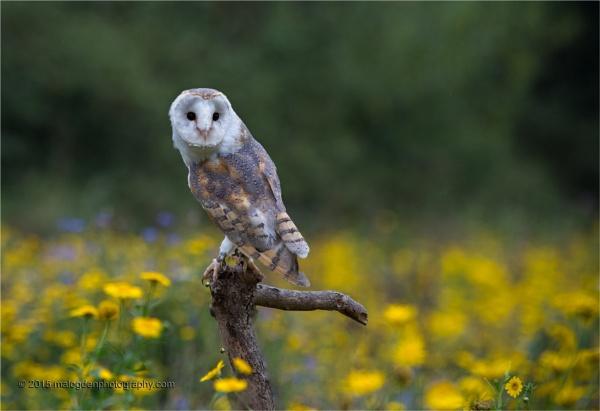 Barn Owl by Techno