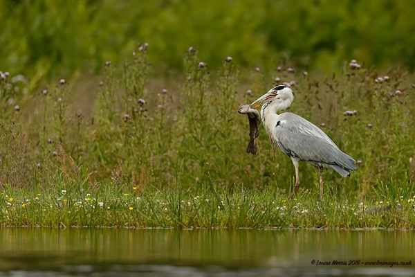 Heron\'s Breakfast by Louise_Morris