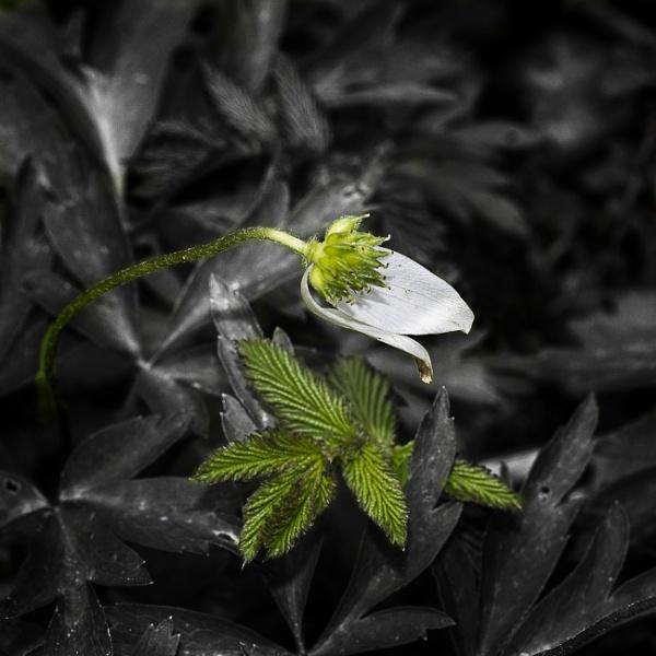 Wood Anemone & Leaf by Irishkate