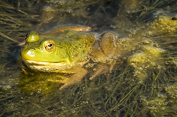 Frog in the Pond by ShotfromaCanon