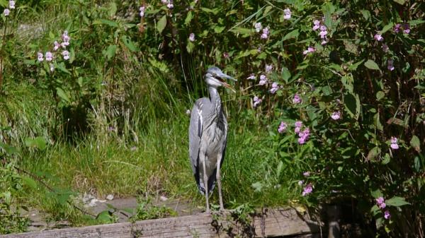 panting heron by ShaunsPics