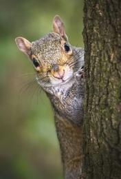 Peeping Grey Squirrel