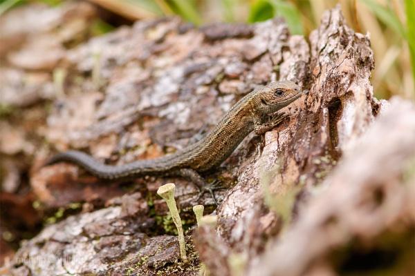 Common Lizard - Zootoca vivipara by Mendipman