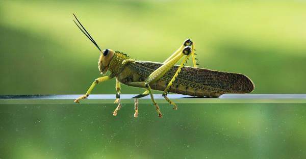 Grasshopper on Glass by HelenaJ