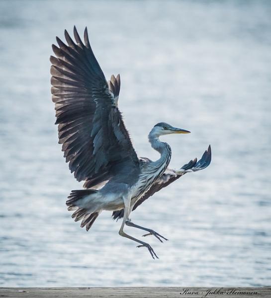 Gray Heron. by Jukka
