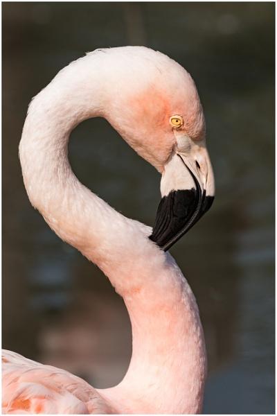 Flamingo by capto