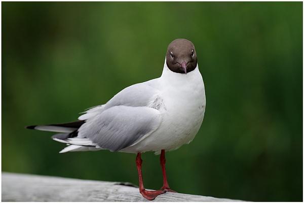 Gull by johnriley1uk