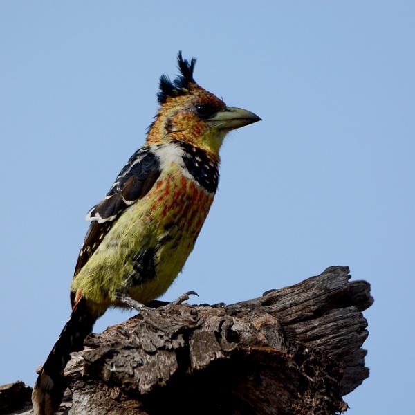 Kruger Barbet by Coen