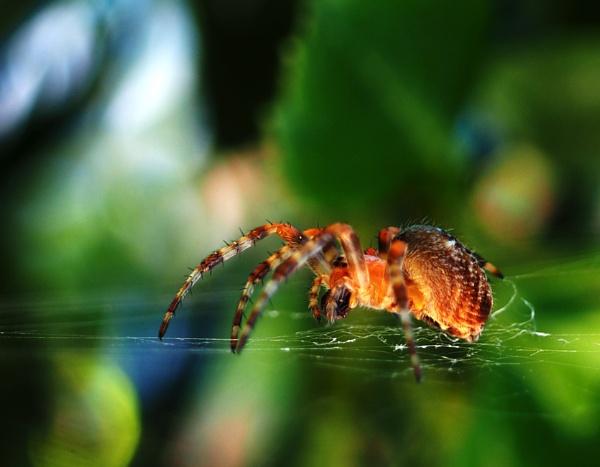 Common Garden Cross Spider