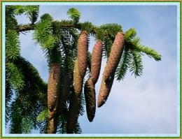 *** Pine Cones ***