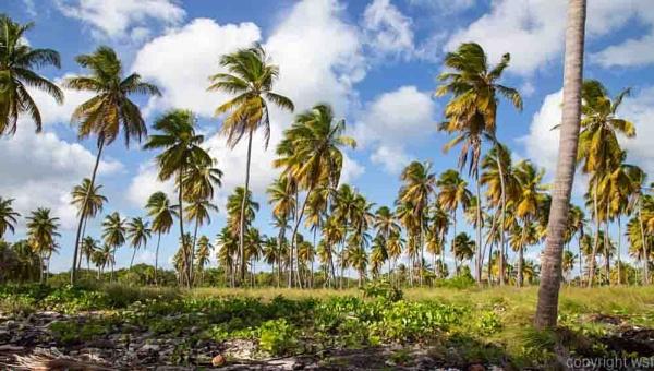 Palmen am Strand von Isla Saona. by wsfeph