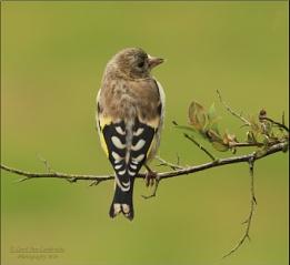 Juvenile Goldfinches