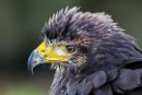 Female Harris Hawk