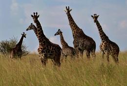 SEVEN Giraffe