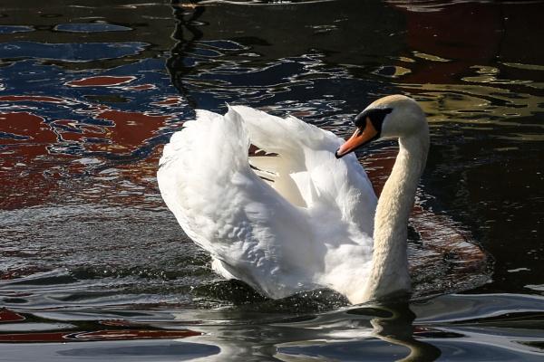 Swan by brianwakeling