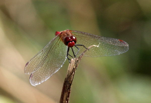Ruddy darter by oldgreyheron