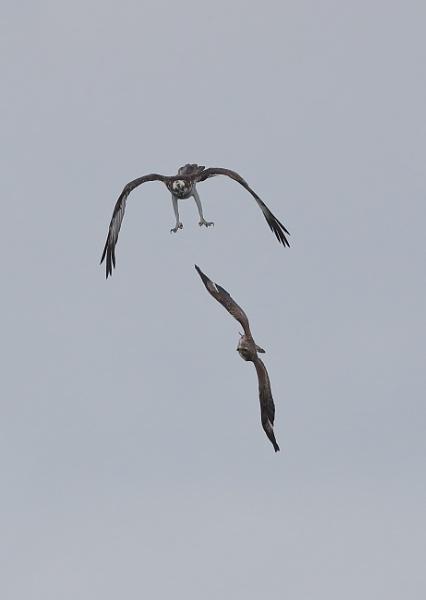 Osprey v Buzzard by NeilSchofield