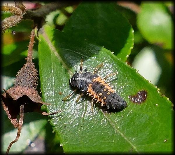 Ladybird larva by HobbitDave