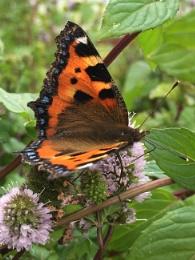 Hairy butterfly!