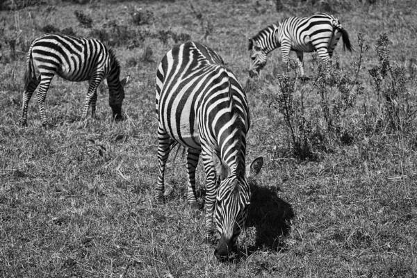 Zebra\'s by rontear