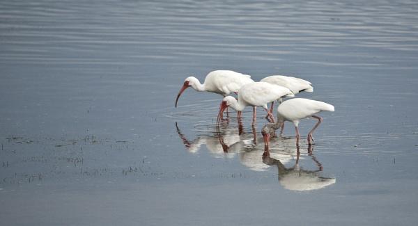 White Ibis feeding by rontear