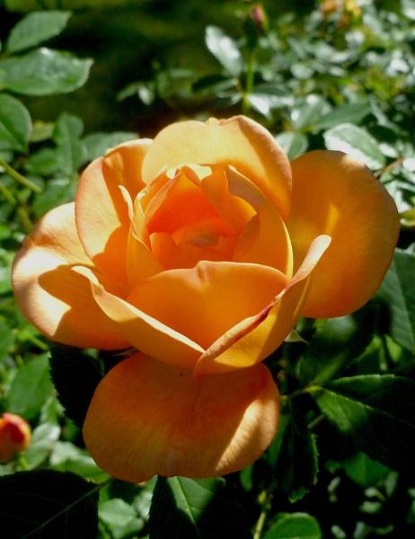 THE ROSE by WYNN