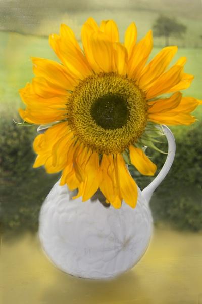 Sunflower by Irishkate